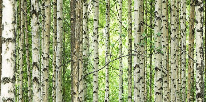 Hirsiä kasvaa metsässä